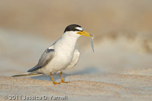 Least Tern with Fish