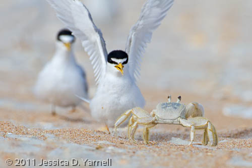 Least Terns chasing off crab