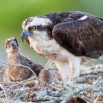 Winter Park Osprey Nest