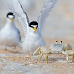 Matanzas Tern Colony