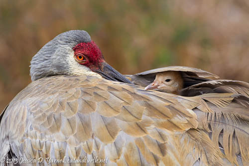 Eye to Eye. Mom and Baby Sandhill Crane at the nest in March.