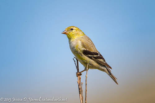 Female American Goldfinch, slightly less colorful than her male counterpart
