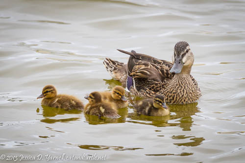 Mallard Family.  Lake Morton.