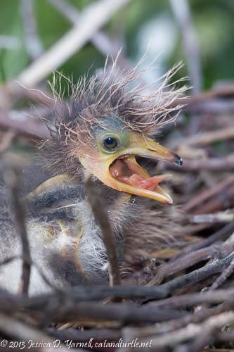 Tricolored Heron Yawn.  Gatorland.