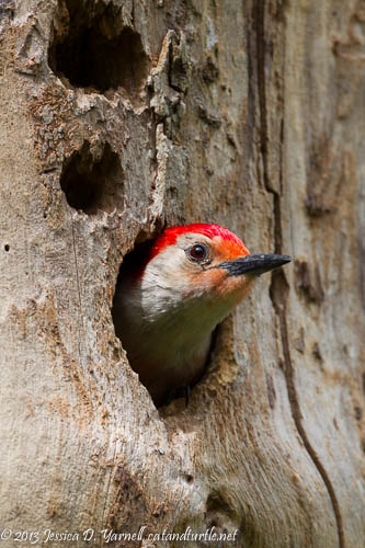 Red-Bellied Woodpecker Nest