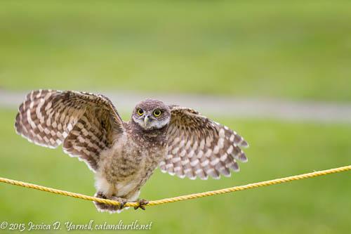 Burrowing Owl Tightrope!