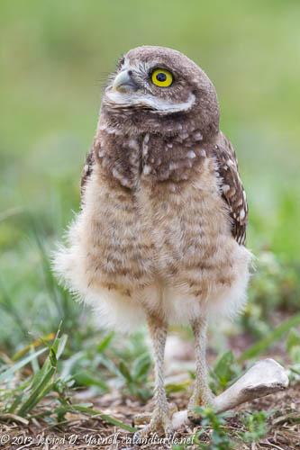 Burrowing Owl Watching Plane