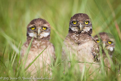 Three of the Five Burrowing Owl Babies