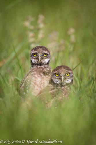 Burrowing Owl Babies Pose