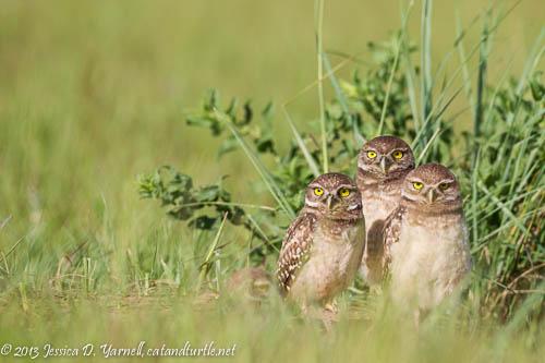 Burrowing Owlets at Burrow