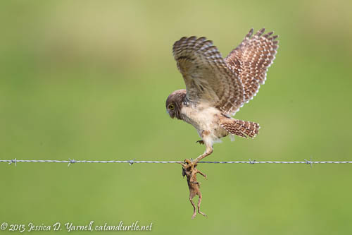 Burrowing Owl Learning to Hunt
