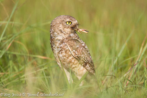 Burrowing Owl Adult Bringing in Food
