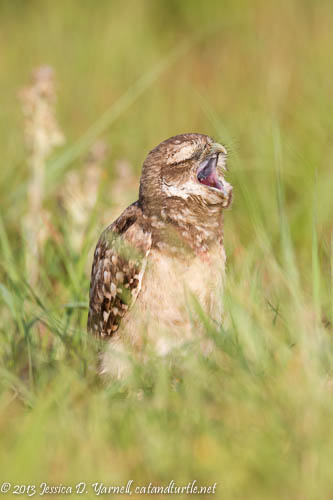 Burrowing Owlet Yawn