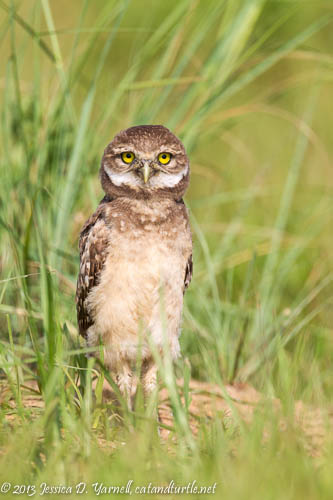 Burrowing Owlet Looking Cute