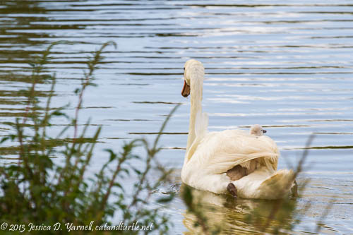 Mute Swan Cygnet on Mom's Back