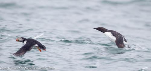 Pelagic Bird Take-Off