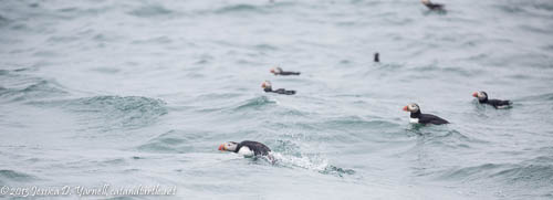 Puffins in the Water