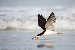 Adult Black Skimmer Skimming