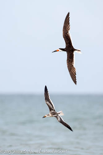 Adult and Juvenile Skimmers in Air