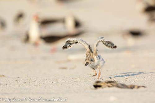 Learning to Fly_Indian Rocks Beach_201307273_copyrightJessYarnell