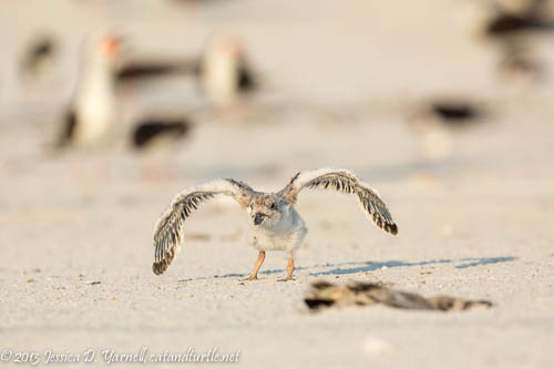 Learning to Fly_Indian Rocks Beach_201307274_copyrightJessYarnell