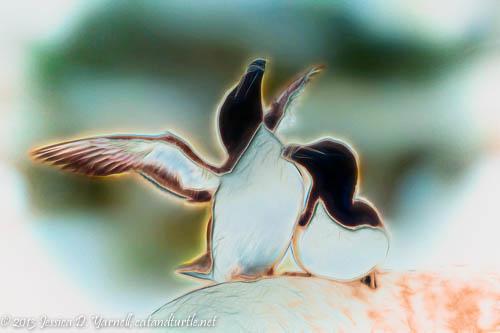 Razorbill Courtship - Film Efex and Bi-color