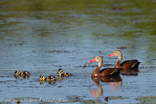 Black-bellied Whistling-Ducklings at Viera Wetlands