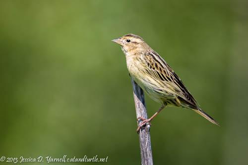 Bobolink (Female)