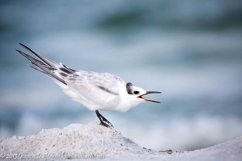 Demanding Juvenile Sandwich Tern