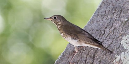 Gray-Cheeked Thrush