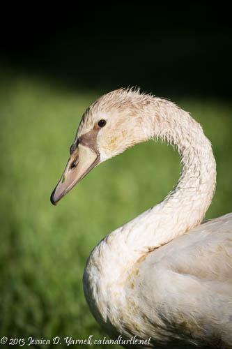 Juvenile Mute Swan