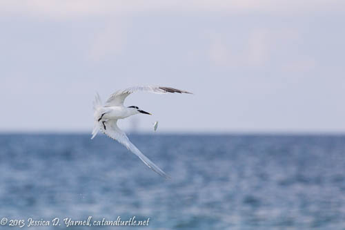 Fish gets away from Sandwich Tern