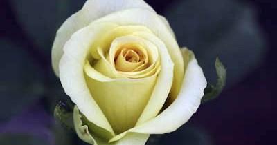 St. Patrick rose