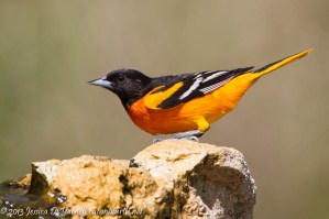 Baltimore Oriole Drinking from Fountain