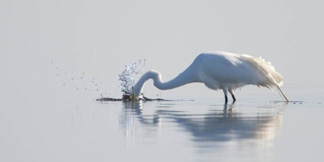 Great Egret Strikes Again