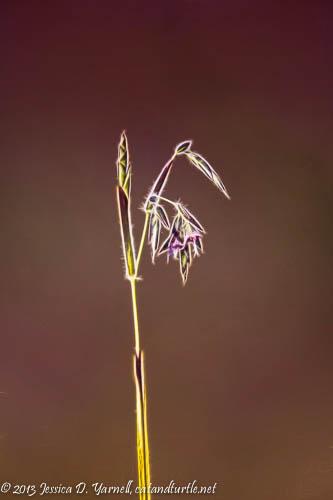 Fire Flag Flower