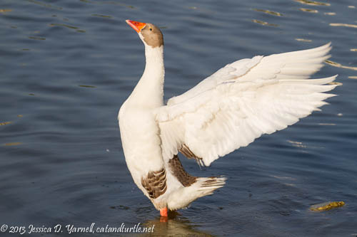Goose Wing Flap