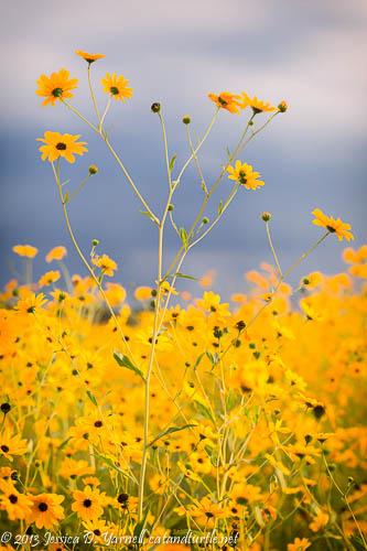 Swamp Sunflowers