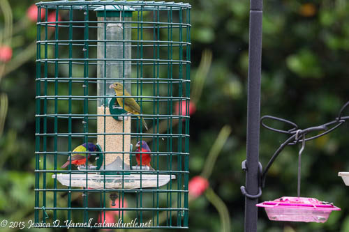 Painted Buntings at my Feeder