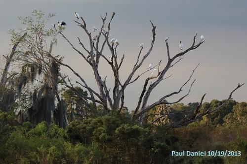 paul_woodstorks