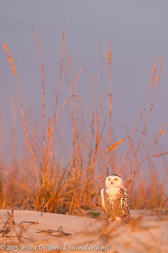 Snowy Owl in Florida!!!