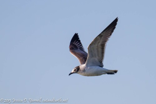 Franklin's Gull in Flight