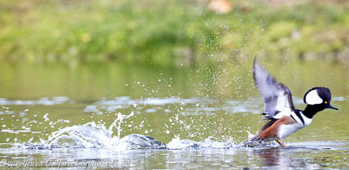Hooded Merganser Take-Off!