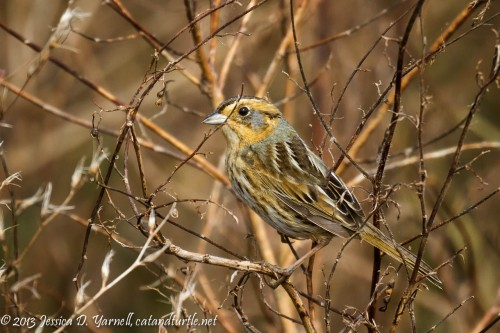 Nelson's Sparrow