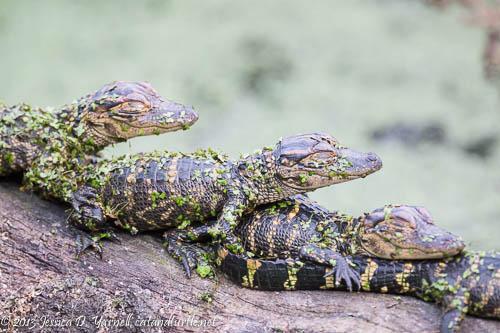 Alligator Baby Stack