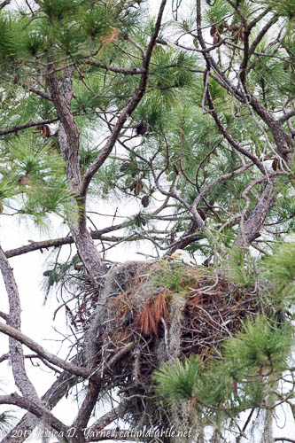 Bald Eagle Nest at Holloway Park