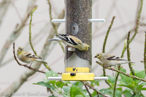American Goldfinch Squabble