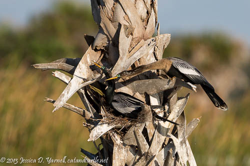 Anhingas at Nest