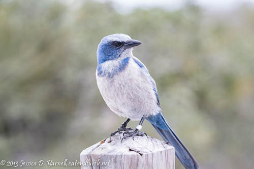 Friendly Florida Scrub Jay