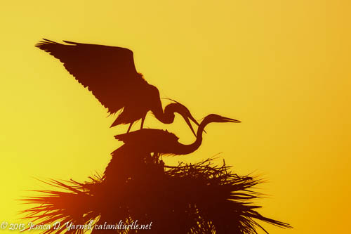 Great Blue Herons at Sunrise